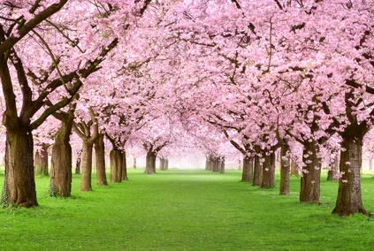 japanischen Kirschblütenfest 2015