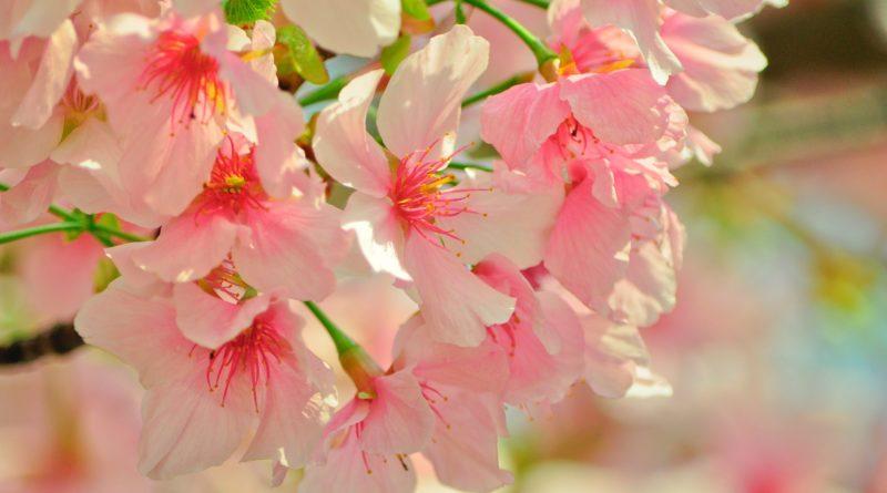 20.05.2016: Kirschblütenfest an der Alster