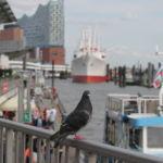 Eine Taube an den Landungsbrücken